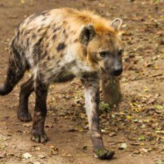 Dlaczego politycy zawsze będą hienami?